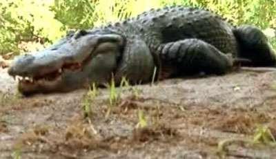 تمساح آبي خطرناكترين تمساح