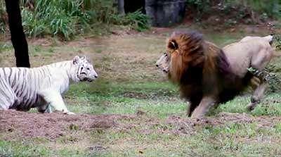 نبرد شیر و ببر در باغ وحش