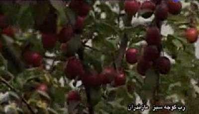 رب گوجه سبز  مازندران