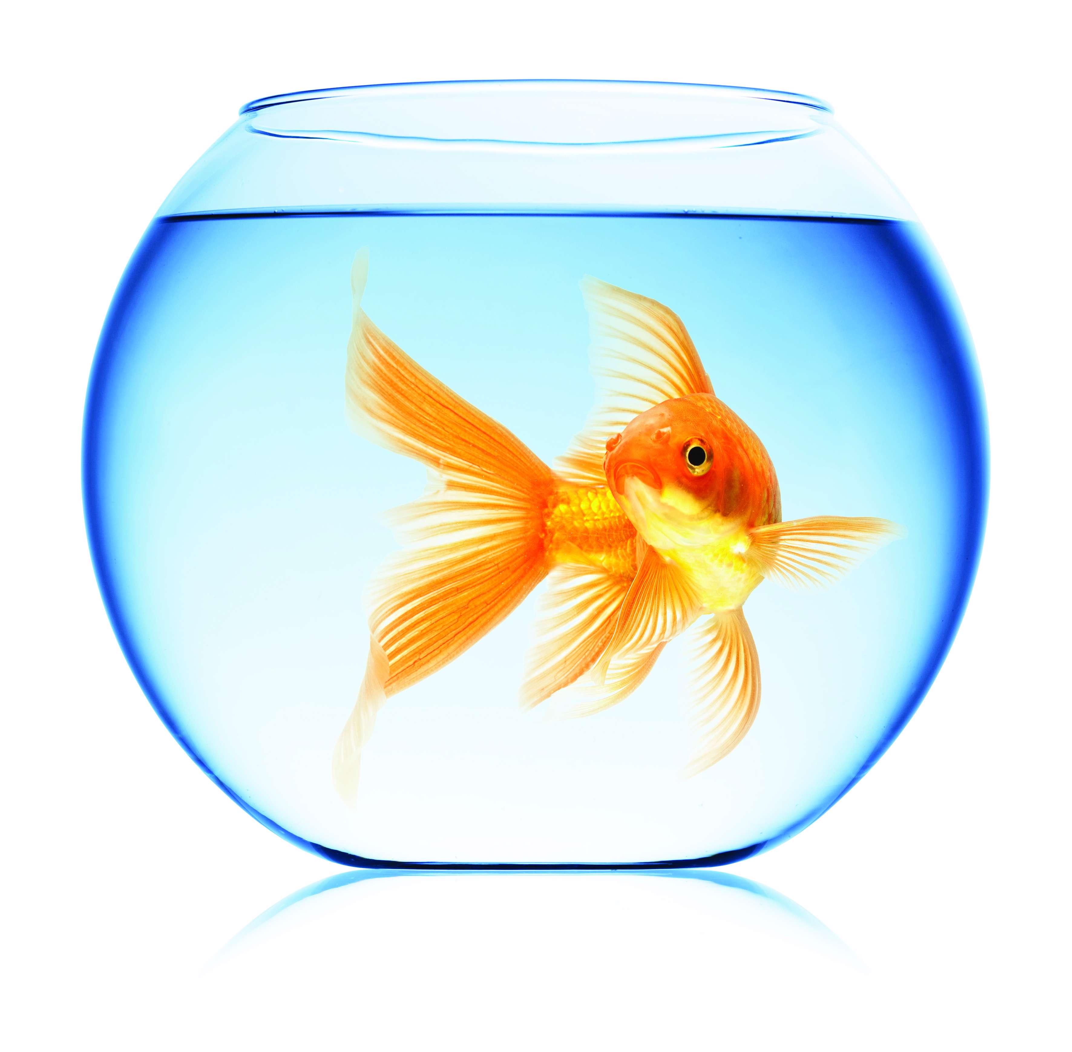 انواع تنگ ماهی ماهی قرمز - گنجینه تصاویر تبيان