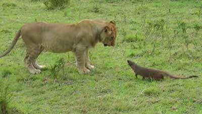 دفاع میمون پوزه دراز برابر 4 شیر