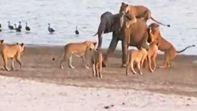 حمله 14 شیر به فیل جوان