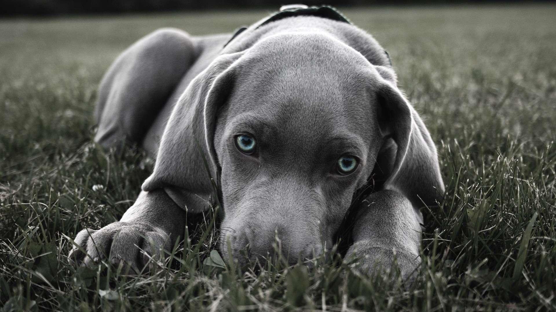 سگ طوسی