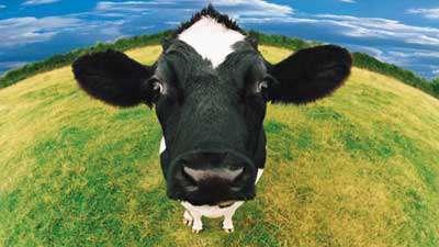 آیا گاو ها با هوش هستند؟