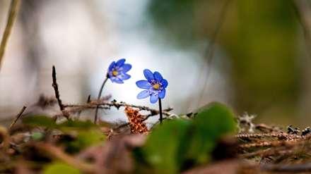 گلهای آبی خودرو