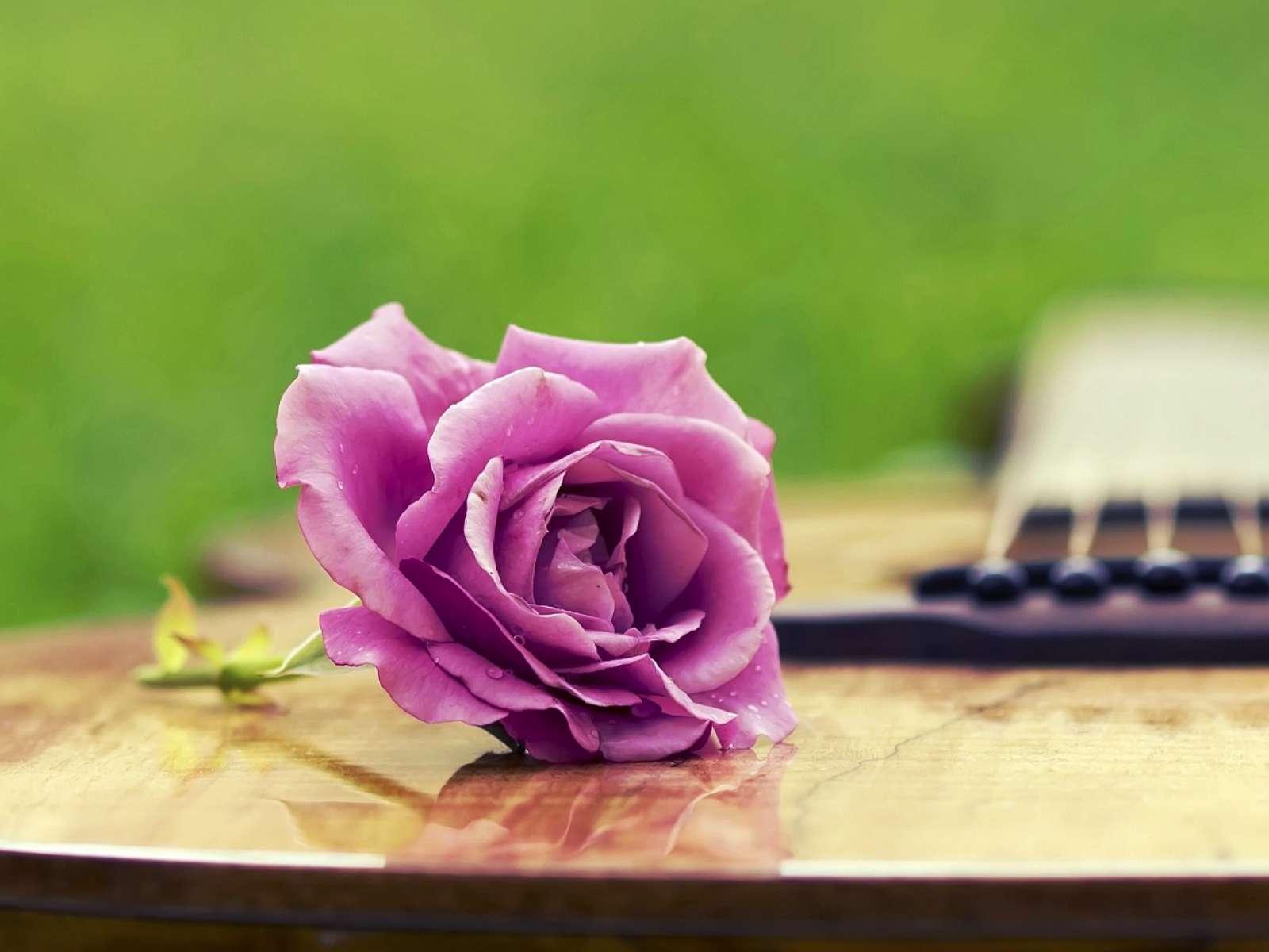 گل رز بنفش گنجینه تصاویر تبيان