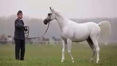 اسب های اصیل عرب