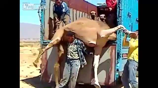 عجیبترین روش برای بلند کردن شتر!