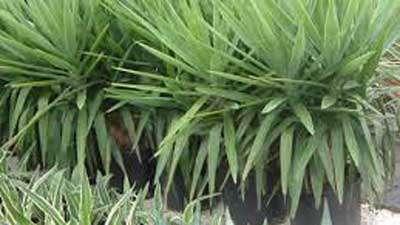 گیاه یوکا