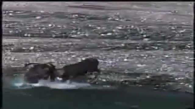 شکارگوزن شمالی توسط خرس کودیاک