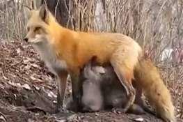شیر دادن روباہ مادہ به تولهخرسهای بدون مادر!