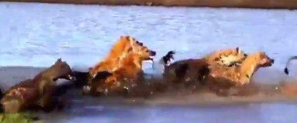 جنگ و نبرد فوق العاده دیدنی بین کفتارها با شیر زخمی