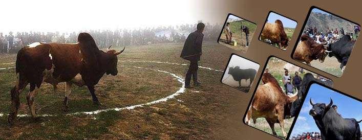 جونکا جنگی؛ نبرد گاوهای نر مازندران