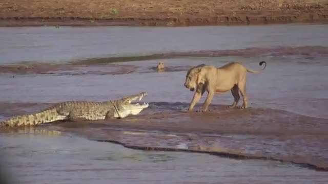 نبرد شیرها و کروکودیل