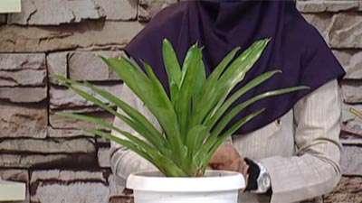 گیاه نیدولاریوم(آموزش به زبان آذری)