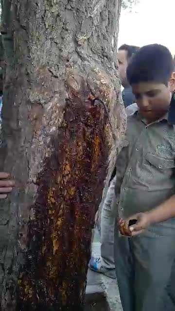 خروج مایع قرمز رنگ از یک درخت در شهر قم