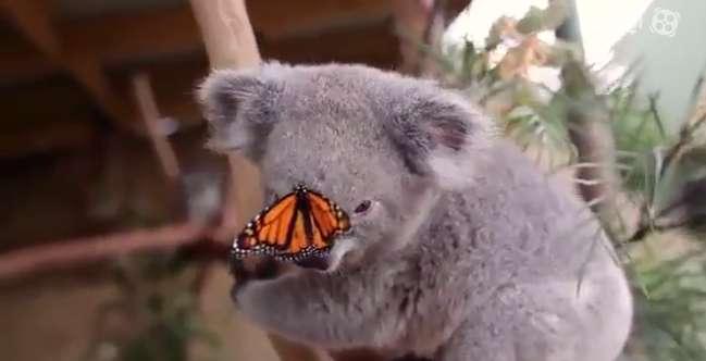 بازی کوالا و پروانه