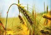 حکم کشاورزی با بذر غصبی !!