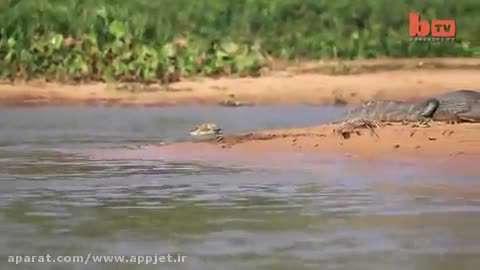 شکار کروکودیل توسط جگوار