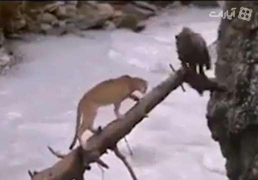 فرار بچه خرس زرنگ از چنگال ماده شیر