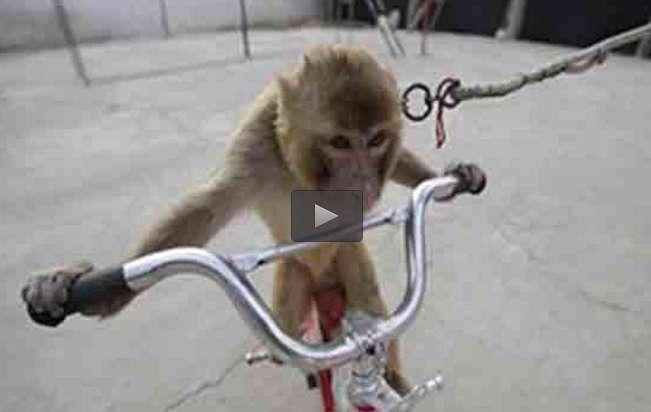 میمون دوچرخه دزد