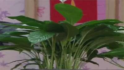 نحوه نگهداری از گیاهان اسپاتی فیلیوم و گیاه پتوس