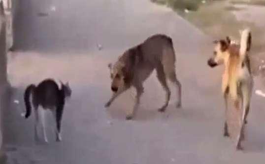 ترس سگها از یک گربه
