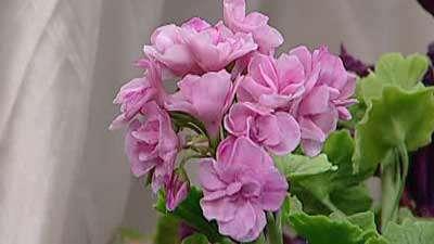 گل شمعدانی (2)
