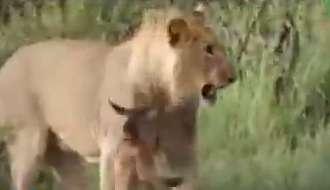 رفتار عجیب شیر در برخورد با بچه بوفالو!