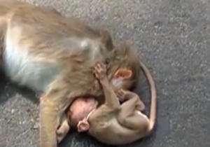 صحنهای غم انگیز از یک بچه میمون در خیابان
