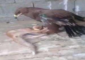 شکار روباه توسط عقاب نگهبان