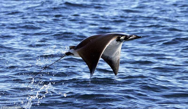 لحظه خیره کننده پرواز سفره ماهی ها!