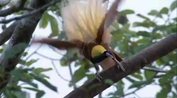 کلیپی کوتاه از پرنده های بهشتی