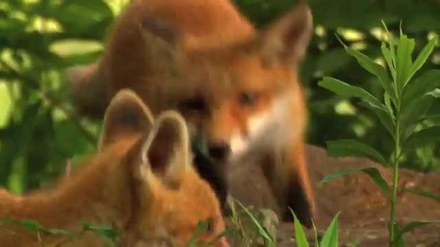 بچه روباه های زیبا و شیطون!