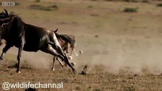 صحنه هایی زیبا از شکار بچه گوزن یالدار توسط یوزپلنگ