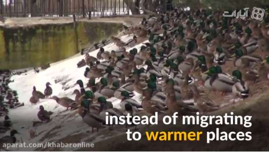 اردکهایی که مهاجرت خود را به تاخیر انداخته اند