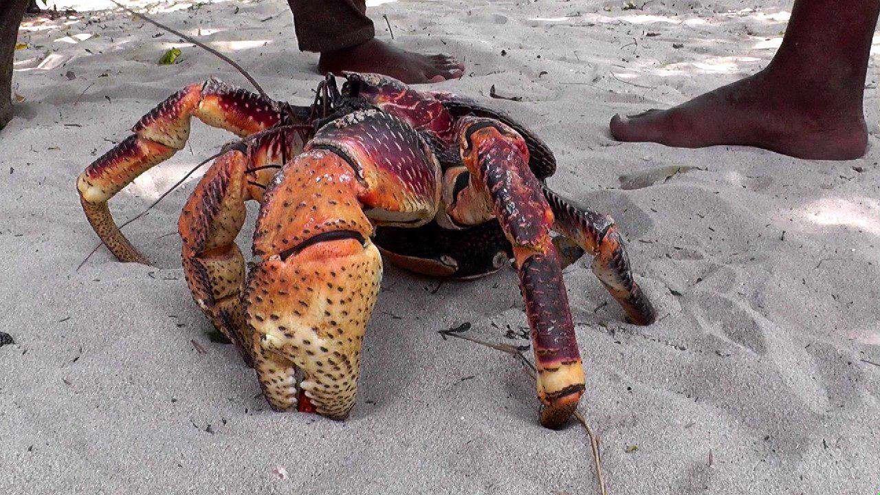 خرچنگی که تا طول 1 متر رشد می کند!