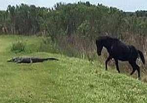 حمله اسب وحشی به کروکودیل!