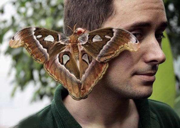 پروانه ای که از صورت شما بزرگتر است!