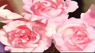 گل بلندر