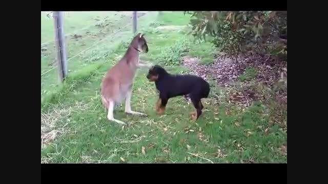 دوستی دیدنی کانگورو با سگ