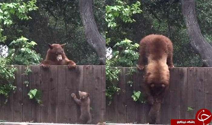 دردسرهای یک خرس و تولههایش