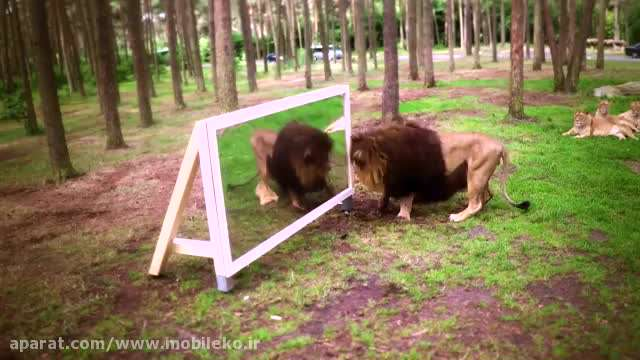 واکنش شیرها در مقابل آینه