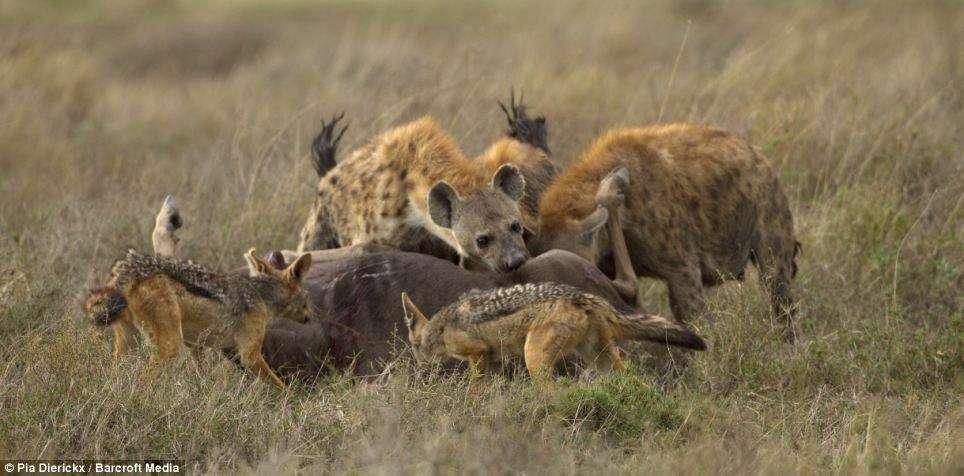 تراژدی وحشتناک حیات وحش: زنده زنده خوردن شکار! (18+)