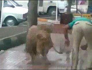 شستن شیر درنده در وسط خیابان!