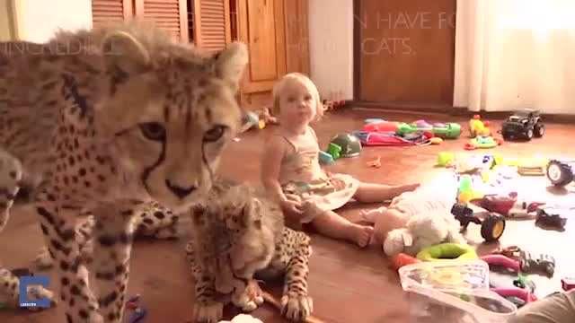 خانواده ای که با چندین چیتا زندگی میکنند