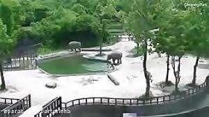 صحنهای نادر از هم نوع دوستیِ فیلها