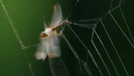 تار این عنکبوت 25 متر پرتاب می شود