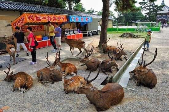 پناه آوردن صدها گوزن به شهری در ژاپن!