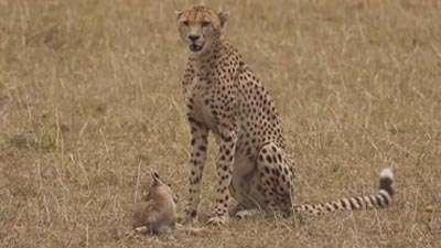 بازی یوزپلنگ با بچه آهو